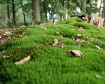 Photo of ground-covering forest moss, sourced from Wikimedia Commons http://commons.wikimedia.org/wiki/File:Mos.jpg